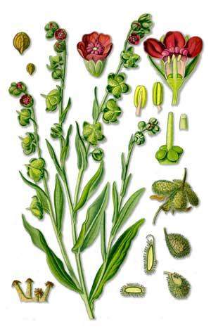 Лекарственные растения. Чернокорень лекарственный. Cynoglossum  officinale L.